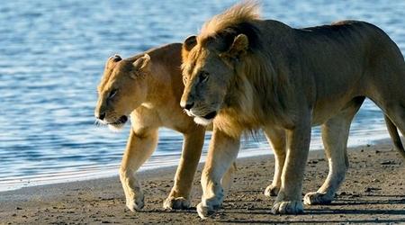 Lions at Saadani National Park