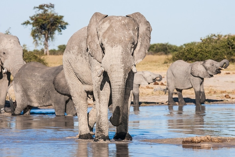 african elephants in chobe national park