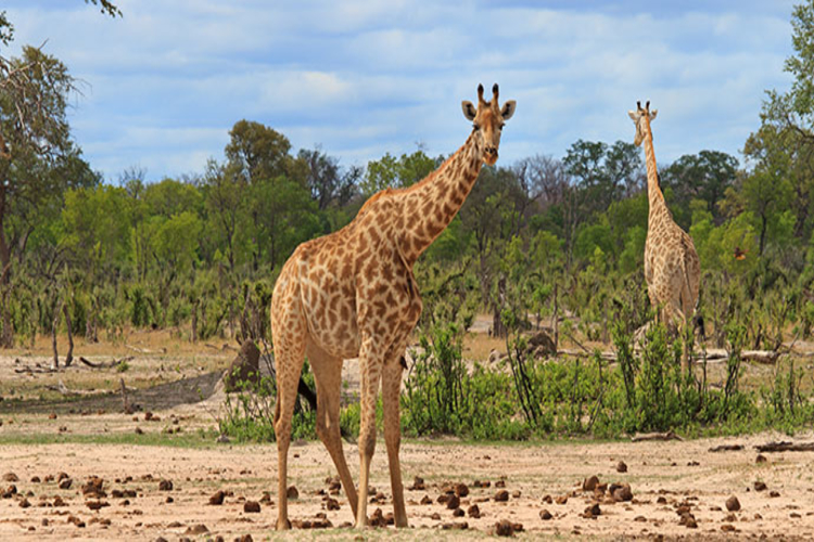 giraffes in hwange national park