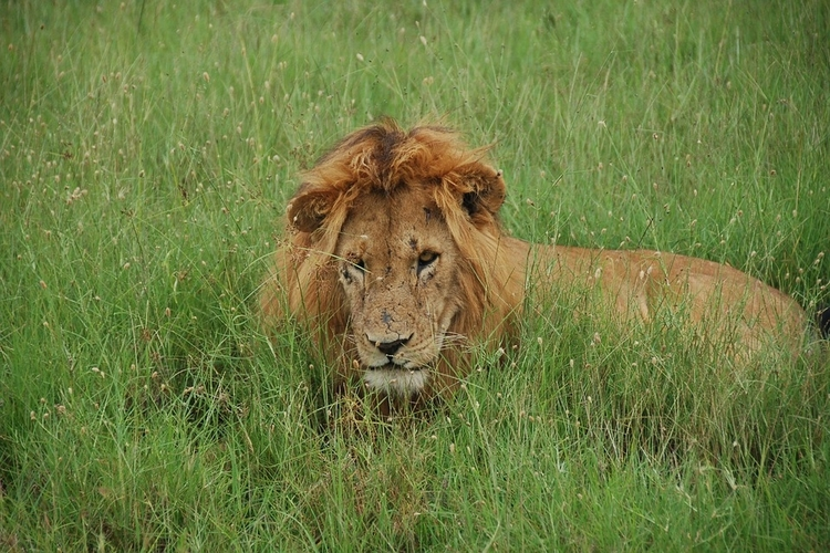 lion resting in masai mara plains