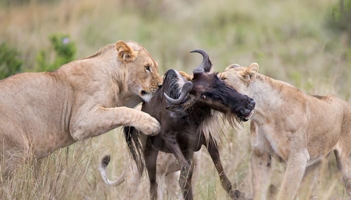 lion attack predator action during the great wildebeest migration