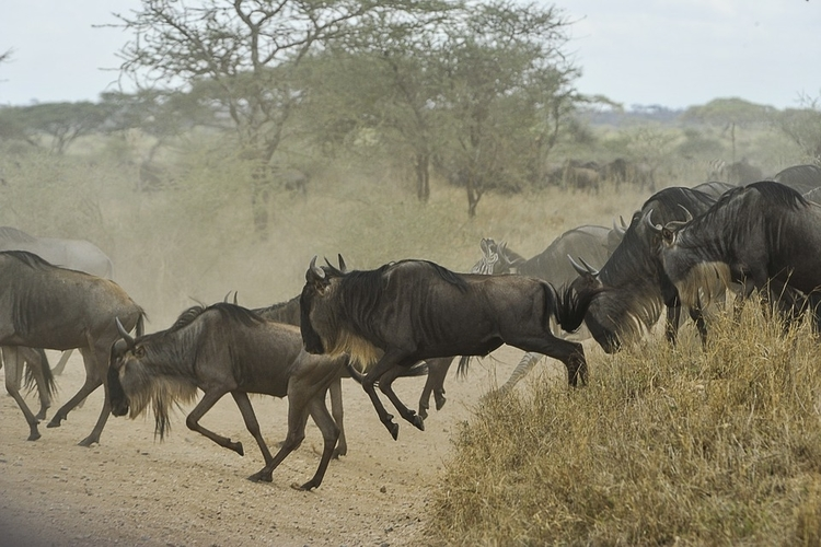 great wildebeests migration in serengeti, tanzania